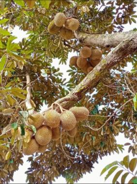 Durian Fruits